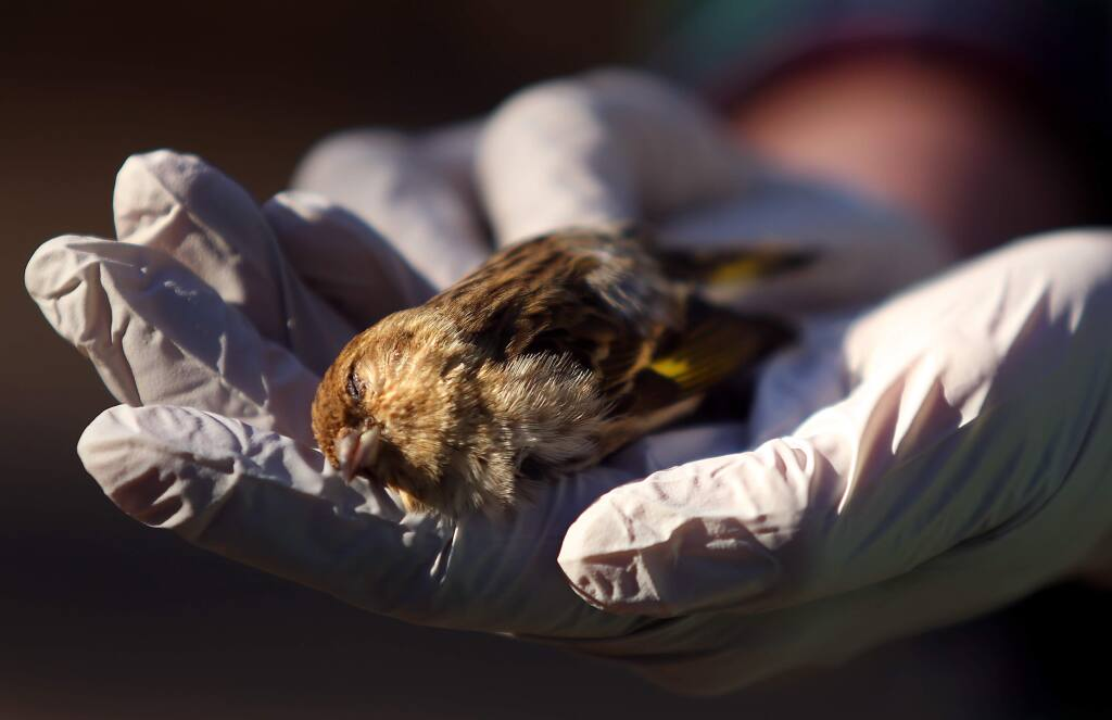 A dead pine siskin found by Adrienne Faulkner in her backyard, in Santa Rosa on Friday, February 20, 2015. (Christopher Chung/ The Press Democrat)