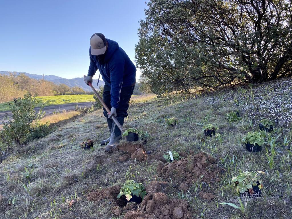 Workers in February planted habitat plants at Jordan Winery. (Jordan Vineyard & Winery)