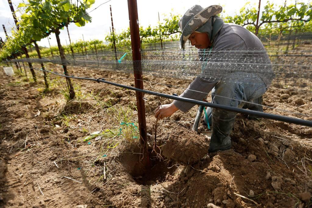 Vineyard worker Gavino Luis plants a new pinot noir vine at Merriam Vineyards in Healdsburg, California on Thursday, April 14, 2016. (Alvin Jornada / The Press Democrat)