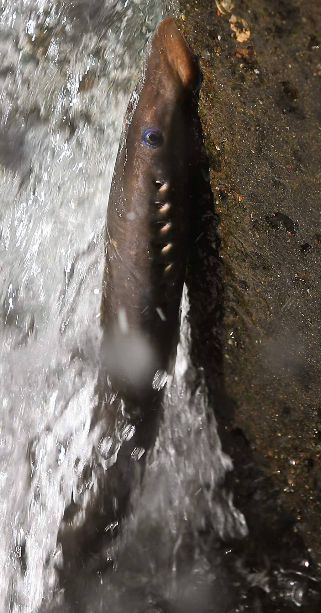 A lamprey clings to the side of a fish ladder at the Cape Horn Dam on the Eel River, Tuesday July 11, 2017 near Potter Valley. (Kent Porter / The Press Democrat) 2017