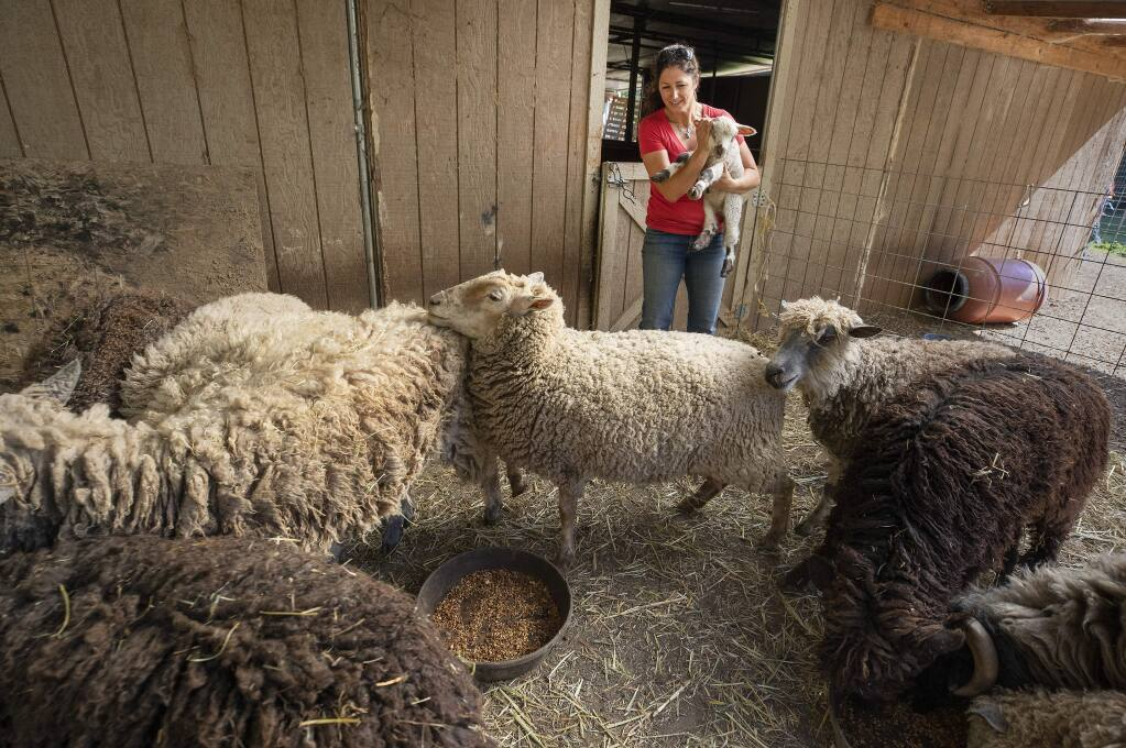 Carole Balala feeds her rescued sheep at Plum Blossom Farm in Cloverdale. Balala raises money by making and selling felted dryer balls, soaps and scarfs from their wool. (photo by John Burgess/The Press Democrat)