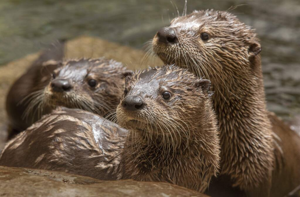 Last July, three juvenile river otter pups joined a juvenile beaver in the rehabilitation pond at the Sonoma County Wildlife Rescue in Cotati. (JOHN BURGESS/ PD)