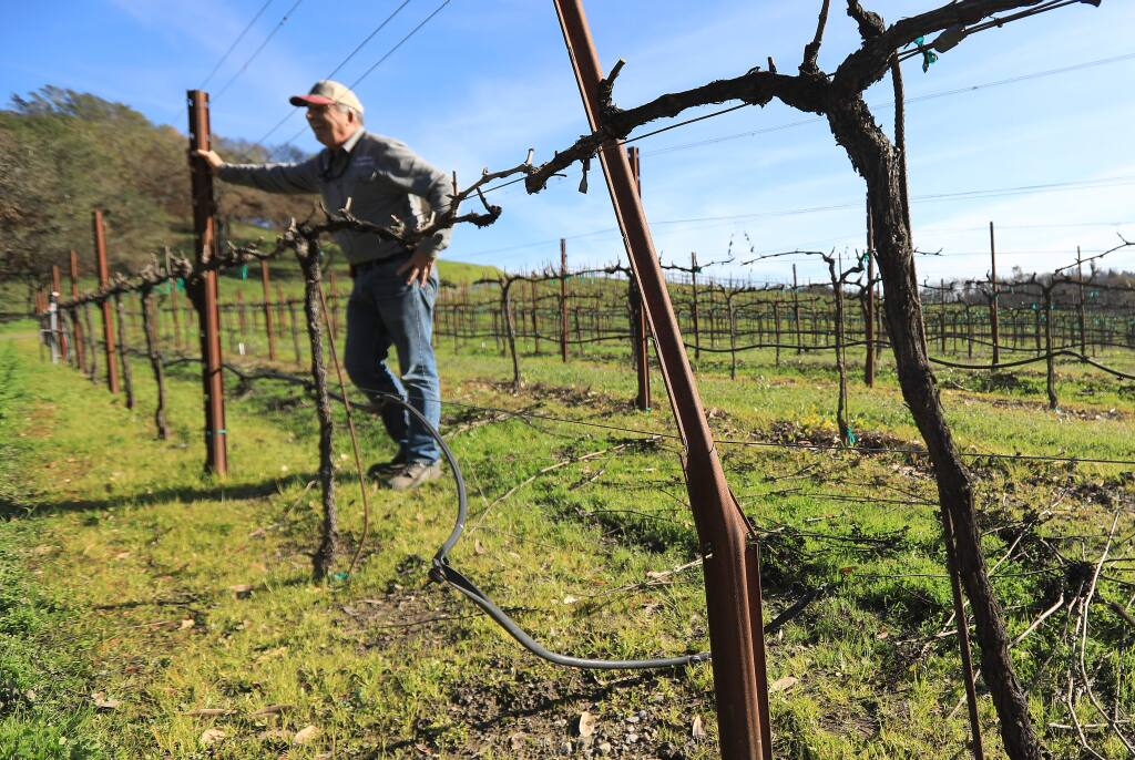 Russ Messana with some of his family's trellised wine grapes with warped support poles and burned vines as a result of the Tubbs fire in October 2017. (Kent Porter / The Press Democrat) 2018