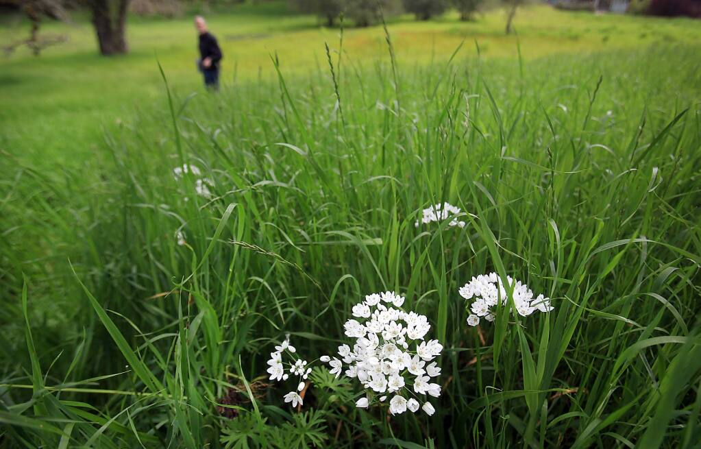 Wildflowers sprout through abundant greenery at the Paulin Creek Preserve, Wednesday March 15, 2017 in Santa Rosa. (Kent Porter / The Press Democrat) 2017