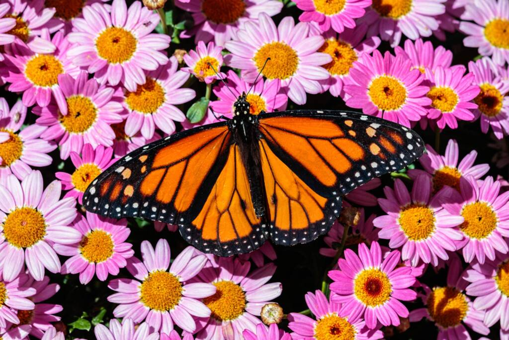 A Monarch butterfly rests on a bed of bright pink flowers in Phoenix, Arizona. (David G. Hayes)