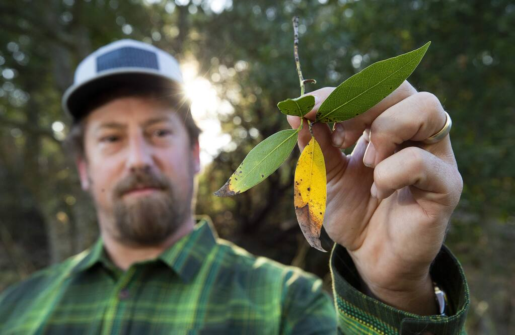 Jason Mills, restoration manager with the Sonoma Ecology Center, holds a branch of a bay tree with leaves infected with the pathogen that causes sudden oak death. (John Burgess/The Press Democrat)