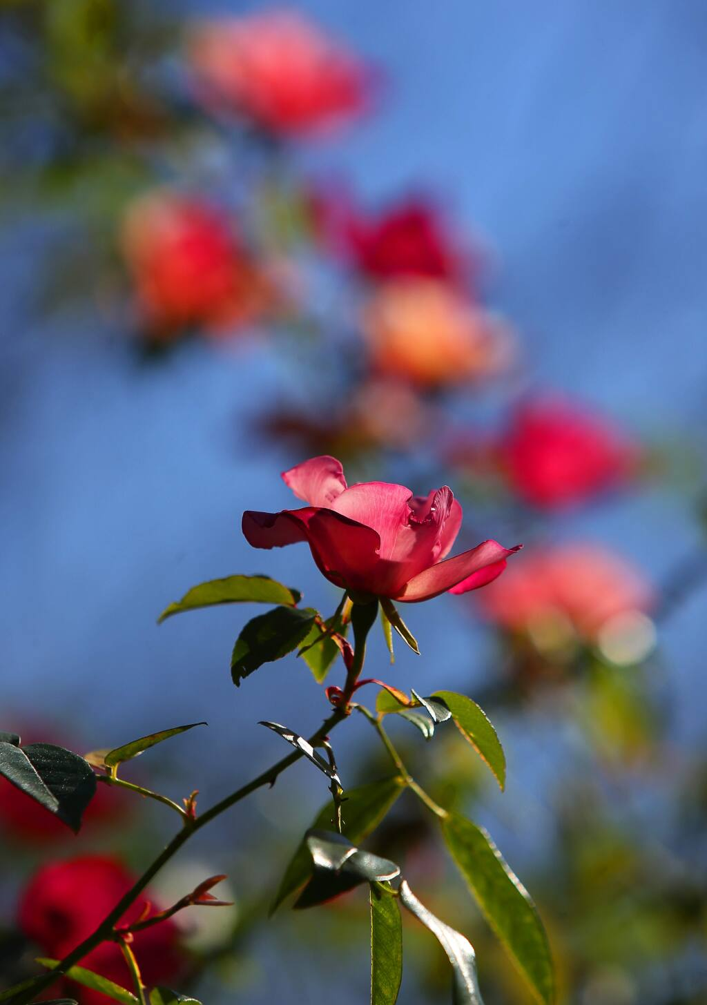 Rosa chinensis spontanea bloom at the Quarryhill Botanical Garden in Glen Ellen on Tuesday, March 14, 2017. (Christopher Chung/ The Press Democrat)