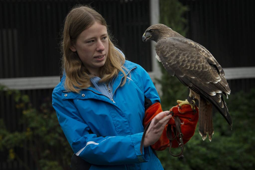 Claire Short, 21, was one of several raptor handlers-in-training interacting with visitors with a red-tailed hawk during The Bird Rescue Center's monthly open house held Saturday in Santa Rosa, California. January 5, 2019.(Photo: Erik Castro/for The Press Democrat)
