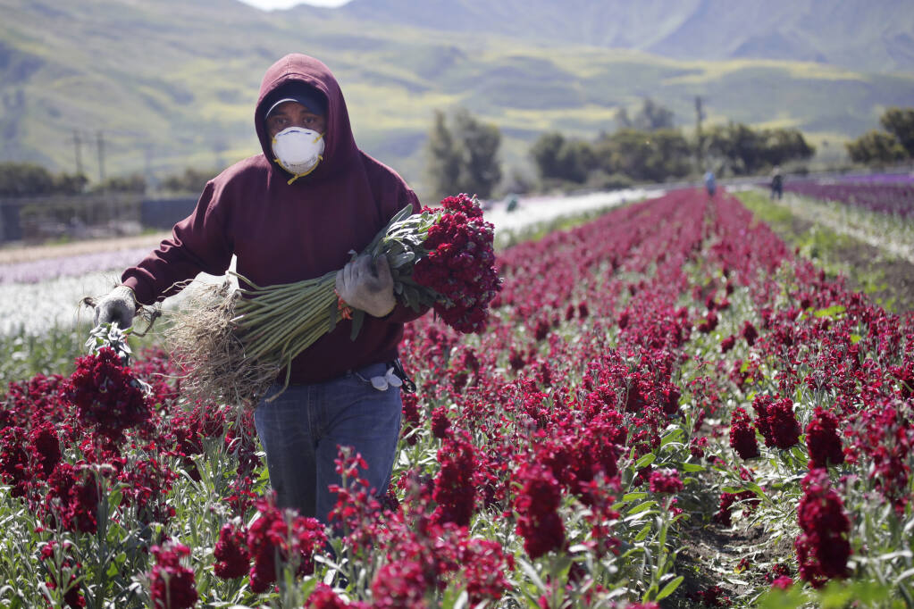 A farmworker, considered an essential worker under the current COVID-19 pandemic guidelines, wears a mask as he works at a flower farm Wednesday, April 15, 2020, in Santa Paula, Calif. (AP Photo/Marcio Jose Sanchez)