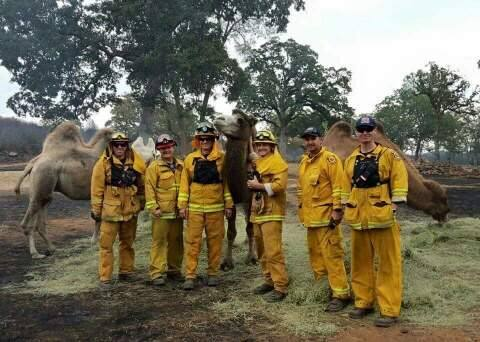 Firefighters pose with camels from Sacred Camel Gardens. (Submitted photo)