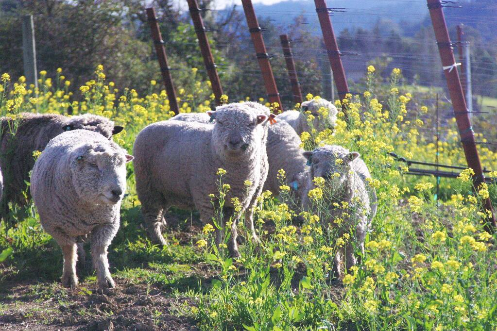 Babydoll sheep munch on the cover crop near vineyards at Healdsburg's Puma Springs Vineyards. It gives insight into the diversity involved in Biodynamic farming where vineyards and animals co-habitate. (Tony Crabb / Puma Springs Vineyards)