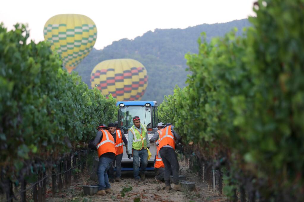 A hot air balloon lifts off as workers harvest pinot noir grapes in Rodgers Vineyard for Mumm Napa in Yountville, California on Tuesday, August 13, 2019. (BETH SCHLANKER/The Press Democrat)