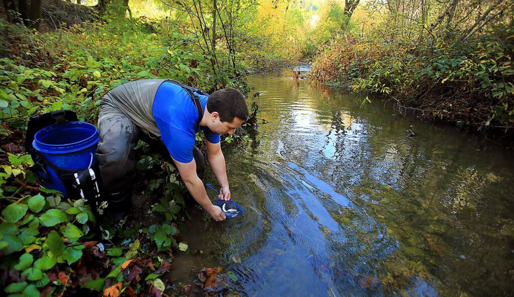 Zach Mayer, volunteering his time with the Army Corp of Engineers and a student with SRJC, releases coho salmon in to Porter Creek, Monday Nov. 21, 2016 at the MacMurray-Gallo Ranch. (Kent Porter / The Press Democrat) 2016