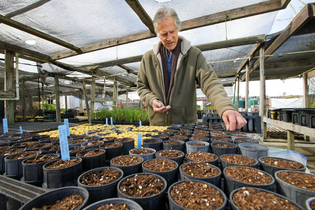 Laguna de Santa Rosa Foundation nursery manager Walter Earle plants Black oak acorns gathered from fire sites in Sonoma County. The Foundation, in conjunction with the Native Plant Society, has accumulated thousands of acorns, noting where they were collected and other valuable information. (John Burgess/The Press Democrat)