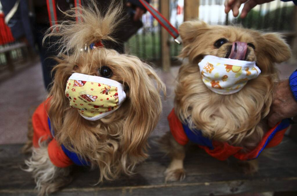 Pet dogs are seen wearing masks in 2009 after local media reported that two dogs were infected with H1N1 flu virus in Beijing. (AP Photo)