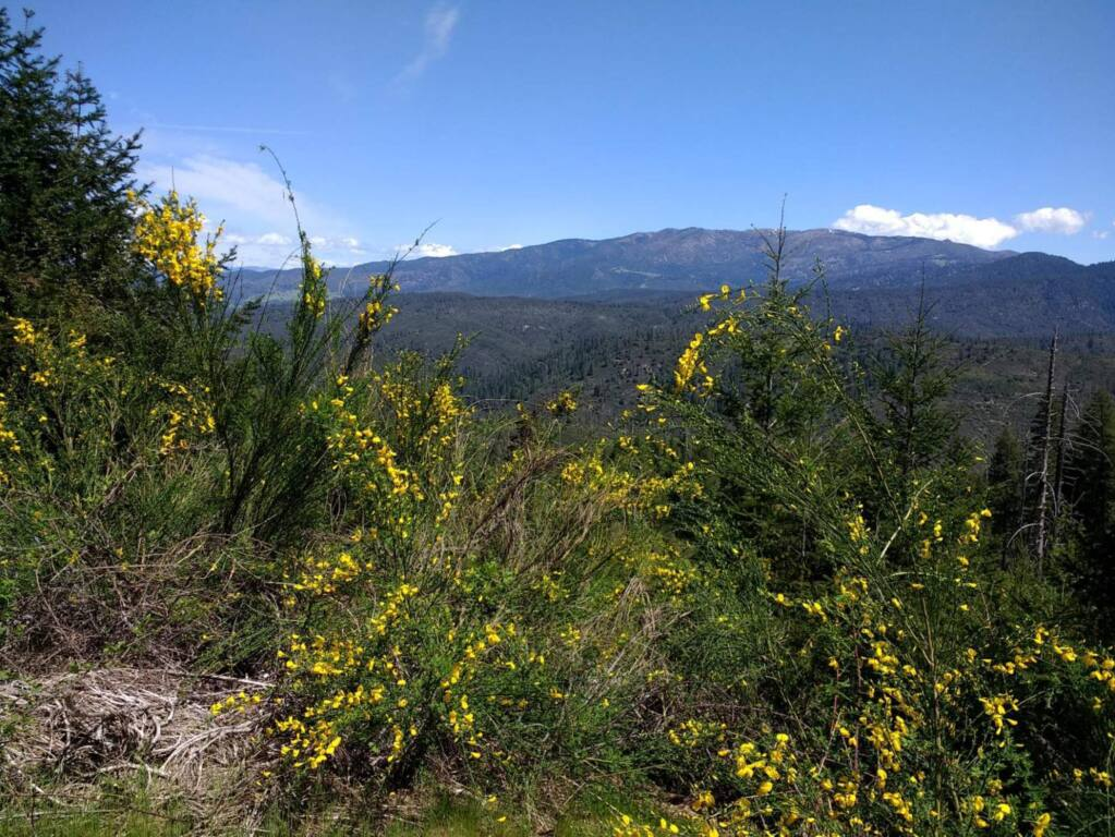 May 2017 photo showing Scotch broom on the Mendocino National Forest. (US Forest Service)
