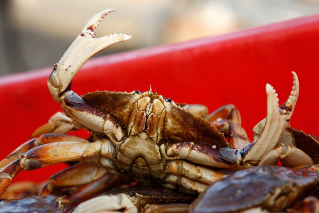 A Dungeness crab reaches out from a full container after being unloaded from the fishing vessel Donna Mia at North Coast Fisheries in Bodega Bay in April. (ALVIN JORNADA/ PD FILE, 2016)