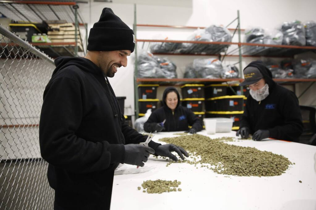 Employees Tony Here, left, Jasmine Gibbons, and Gustavo Rodriguez trim marijuana buds at the SPARC production facility in Santa Rosa on Tuesday, January 28, 2020. (BETH SCHLANKER/ The Press Democrat)