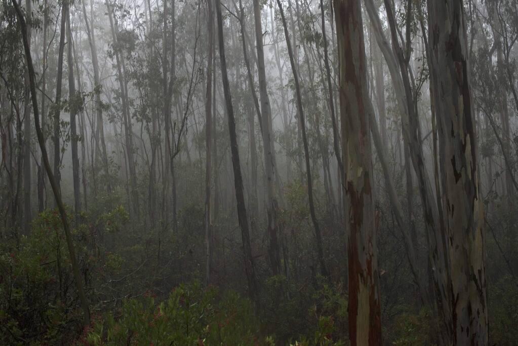 Eucalyptus trees near the entrance to The Jack London State Historic Park in Glen Ellen. December 6, 2015. (Photo: Erik Castro/for The Press Democrat)