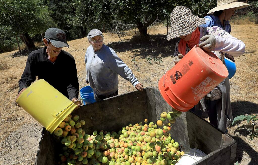 Jose Enriguez, left, Isabel Roman and Isabel Godines pour apples they've picked into a bin. (KENT PORTER/ PD)