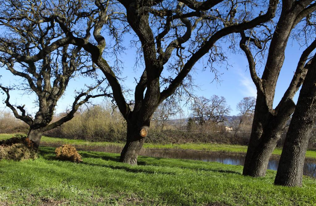 Opponents of Sid Commons, a proposed housing development off Payran, want to preserve the wetlands, the oak trees and open space. (CRISSY PASCUAL/ARGUS-COURIER STAFF)