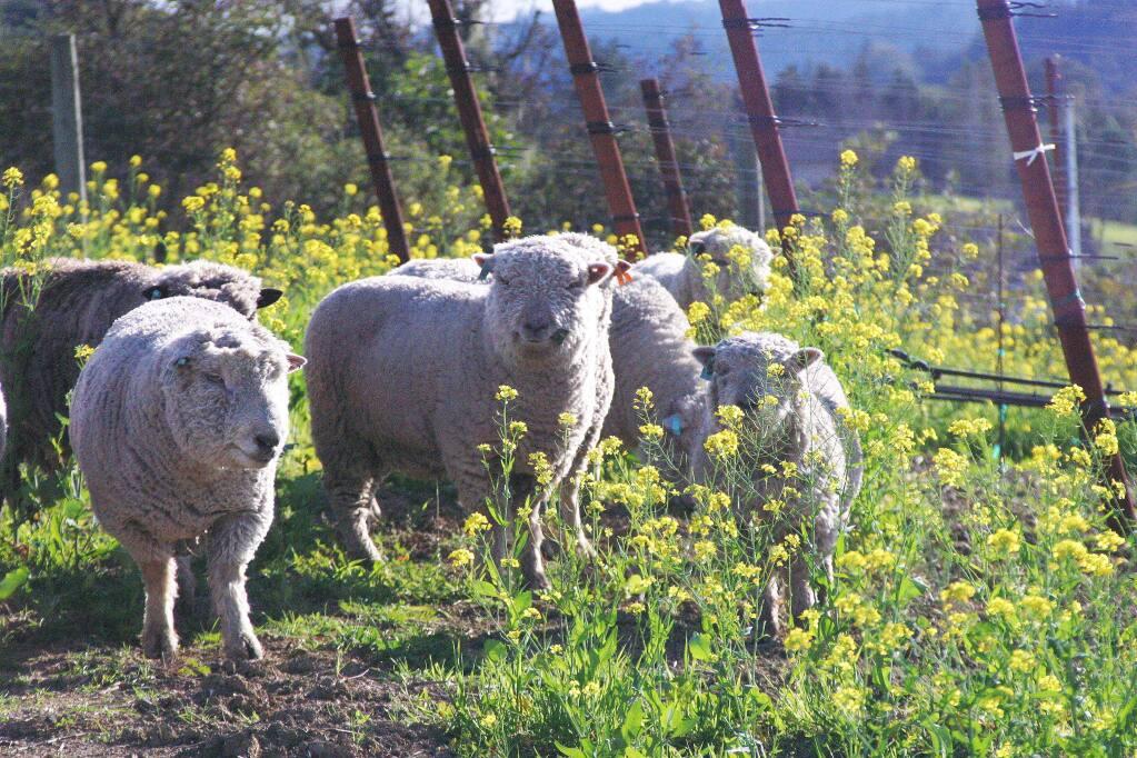 Sheep graze near vineyards at Healdsburg's Puma Springs Vineyards. (Photo Credit: Tony Crabb of Puma Springs Vineyards.)