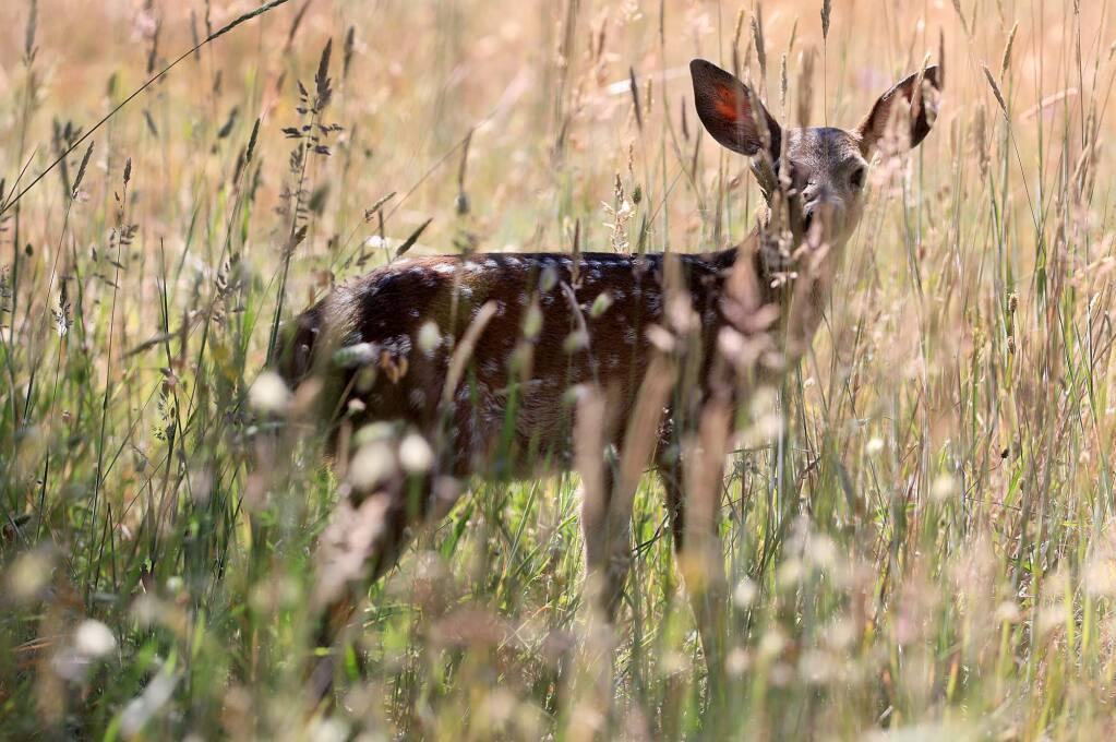 A black-tailed fawn watches its surroundings in the Trione-Annadel State Park in Santa Rosa, Monday, June 18, 2018. (Kent Porter / The Press Democrat) 2018