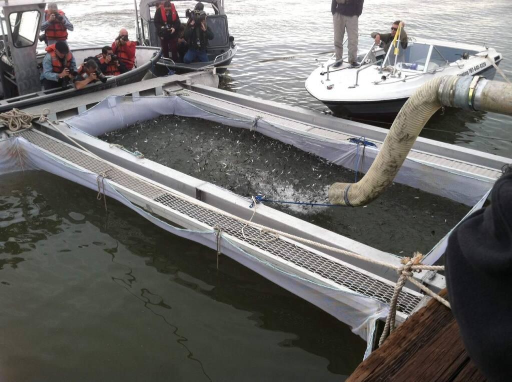 March 2014 use of net pen in Sacramento River in Rio Vista. (Courtesy of Allison Coats and the Golden Gate Salmon Association)