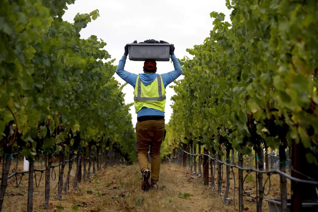 Jesus Alfredo, part of a Martinelli crew, harvests pinot grapes at Zio Tony Ranch in Sebastopol on Thursday, August 30, 2018. (Beth Schlanker/ The Press Democrat)