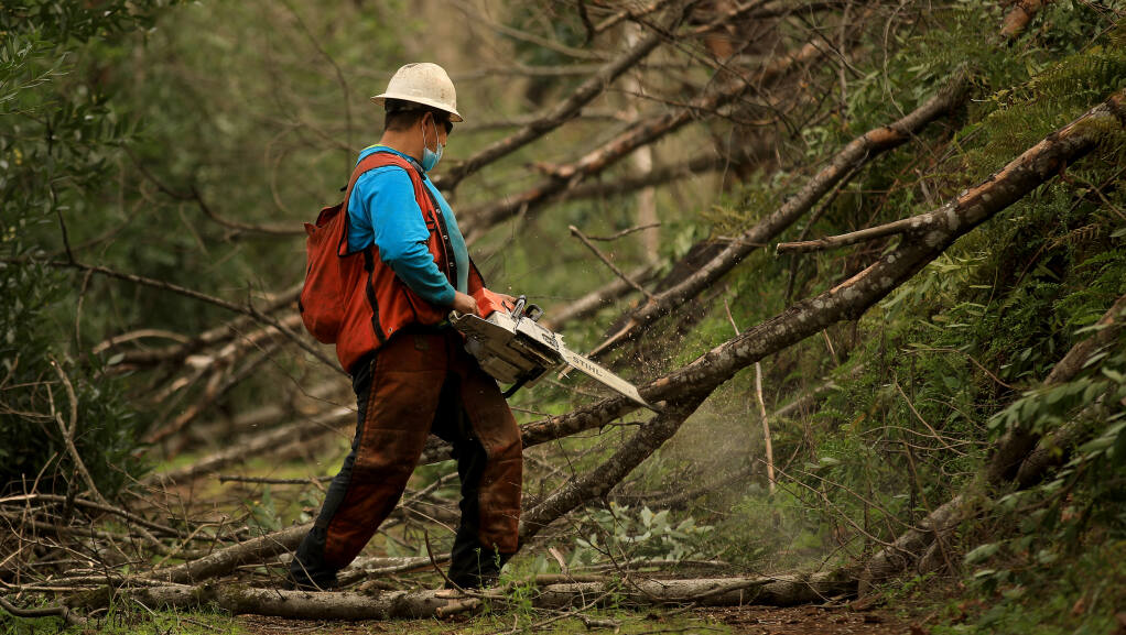 Pedro Vasquez of Alfonso Gallegos, Inc. cuts through dead and felled bay laurel trees at Bouverie Preserve in Glen Ellen, Thursday, Feb. 18, 2021. During the three and half years since the Nuns fire tore through the preserve, the bay trees have crowded the forest, prompting work in creating a shaded fuel break.  (Kent Porter / The Press Democrat) 2021