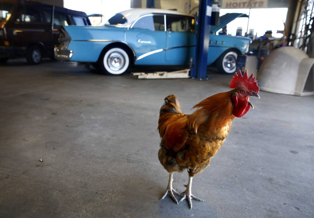 Randy the Rooster crows at his home at A Downtown Automotive in Cotati, on Wednesday, October 5, 2016. (BETH SCHLANKER/ The Press Democrat)
