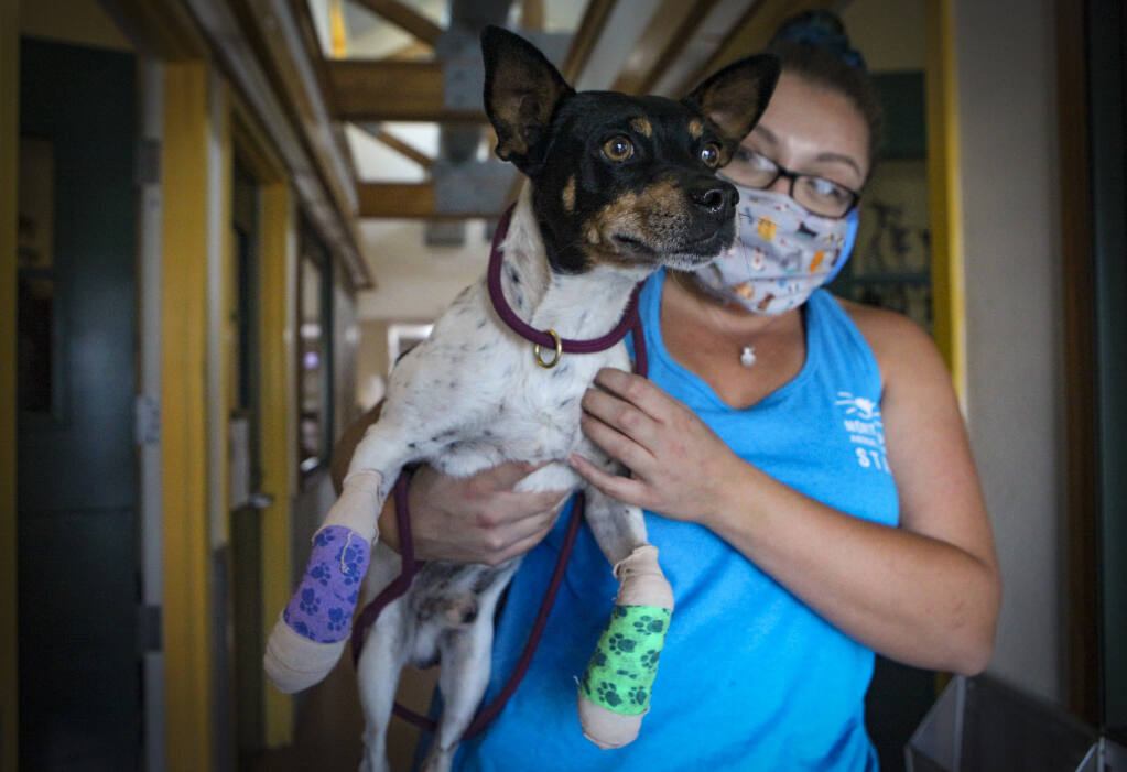 Petaluma, CA, USA, Tuesday,  October 06, 2020._Bella O'Toole, the dog care coordinator for the North Bay Animal Services carries BB out to go potty. BB belongs to a Glass Fire evacuee who escaped the fire with his pets but BB suffered burns on his paws and is recovering at the shelter.                                                                                                                                                                                                                                                                                                                                                                                                                                                                                                                                                                                                                                                                                                                                                                                                                                                                                                                                                                                                                                                                                                                                                                                                                                                                                                                                                                                                                                                                                                                                                                                                                                                                                                                                                                                  
