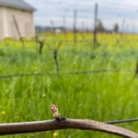 """New growth emerges from a vine in Napa Valley this month. """"Bud break"""" is a signal that the new wine grape season has begun. (courtesy of Napa Valley Grapegrowers)"""