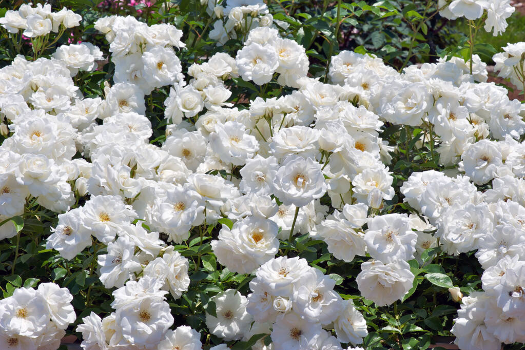 A climbing Iceberg Rose is a nice foundation to a White Garden (Paul Atkinson/Shutterstock)