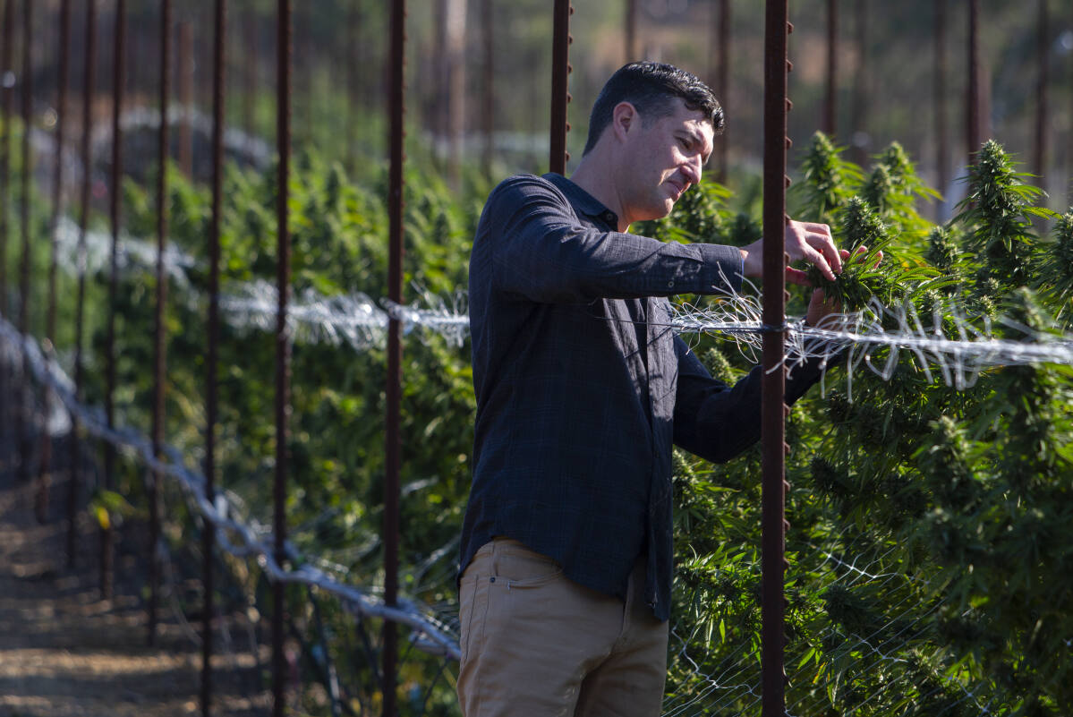 Drought focuses attention on cannabis water use - Sonoma Index-Tribune