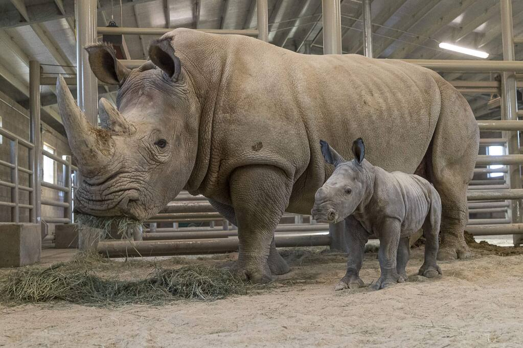 This Monday, Nov. 25, 2019, photo provided by San Diego Zoo Global shows a female southern white rhino calf in the Nikita Kahn Rhino Rescue Center at the San Diego Zoo Safari Park, in San Diego, Calif. The baby rhino born Thursday, Nov. 21, to an 11-year-old mother named, Amani, was conceived through artificial insemination. (Ken Bohn/San Diego Zoo Safari Park via AP)