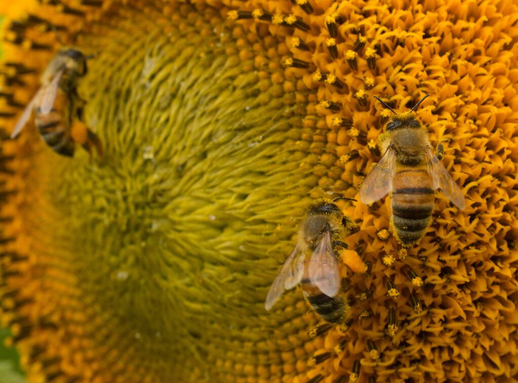 Master gardener Denny Pedersen will give a free talk Sept. 1 on what you can do to help fragile pollinators. The master gardener also will take you on a tour of the life in a honey bee colony. 10:30 a.m. to 12:30 p.m., Healdsburg Regional Library.