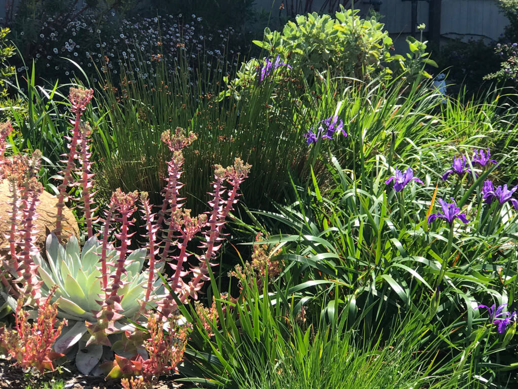 Coastal gardens are a great source of biodiversity.  Some of our favorite coastal plants are Leymus condensatus (Giant Wild Rye), Iris douglasiana (Douglas's Iris) and Atemesia douglasiana (Sage). (Photo Courtesy Habitat Corridor Project)