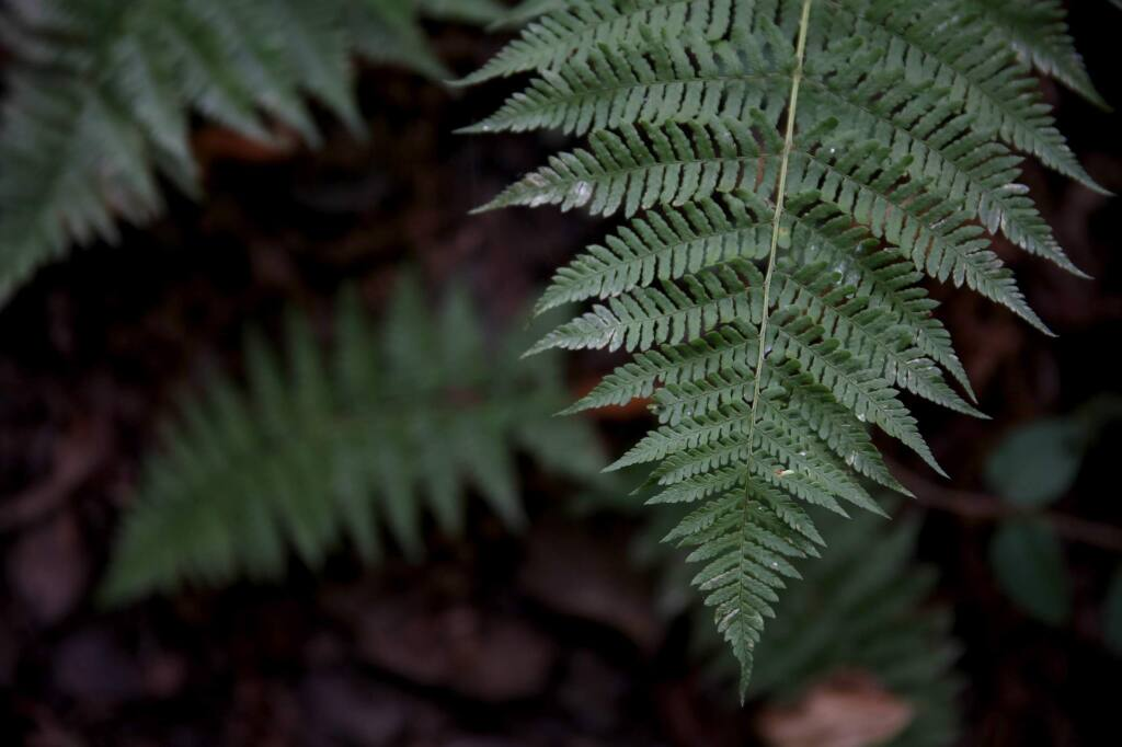 A fern frond along a trail at the Fairfield Osborn Preserve in Penngrove on Wednesday, Aug. 6, 2014. (BETH SCHLANKER / The Press Democrat)