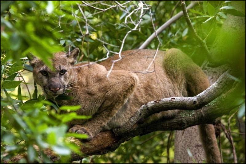 A puma rests in a tree in the Santa Cruz Mountains (photo courtesy of: Felidae Conservation Fund / Bay Area Puma Project)