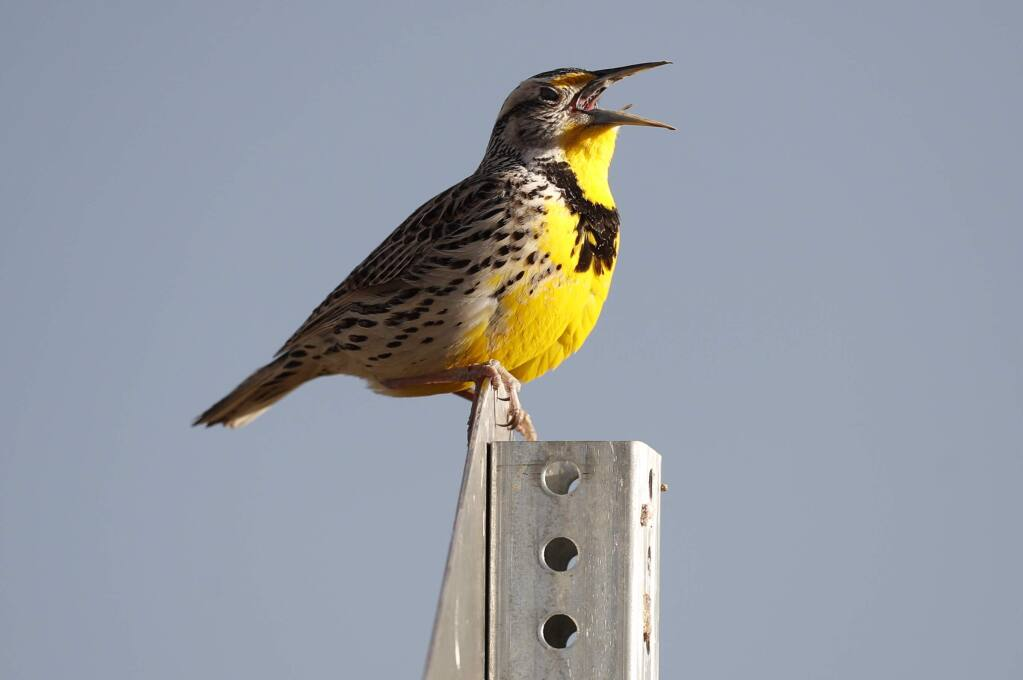A western meadowlark perches atop a sign in ?Commerce City, Colorado. A new study found that bird populations are decreasing in North America. (DAVID ZALUBOWSKI / Associated Press)