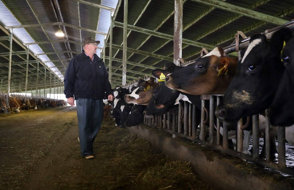Doug Beretta, owner of Beretta Dairy, looks over the cows in a barn, in Santa Rosa on Wednesday, March 21, 2018. (Christopher Chung/ The Press Democrat)