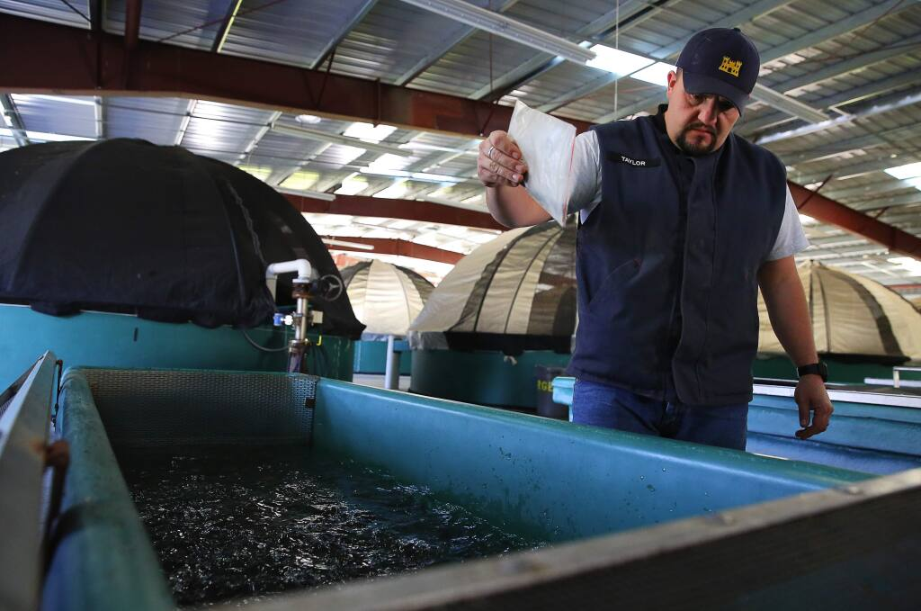 Fisheries biologist Rory Taylor feeds young coho salmon at the coho broodstock program in the Warm Springs Fish Hatchery, on Friday, November 18, 2016. (Christopher Chung/ The Press Democrat)