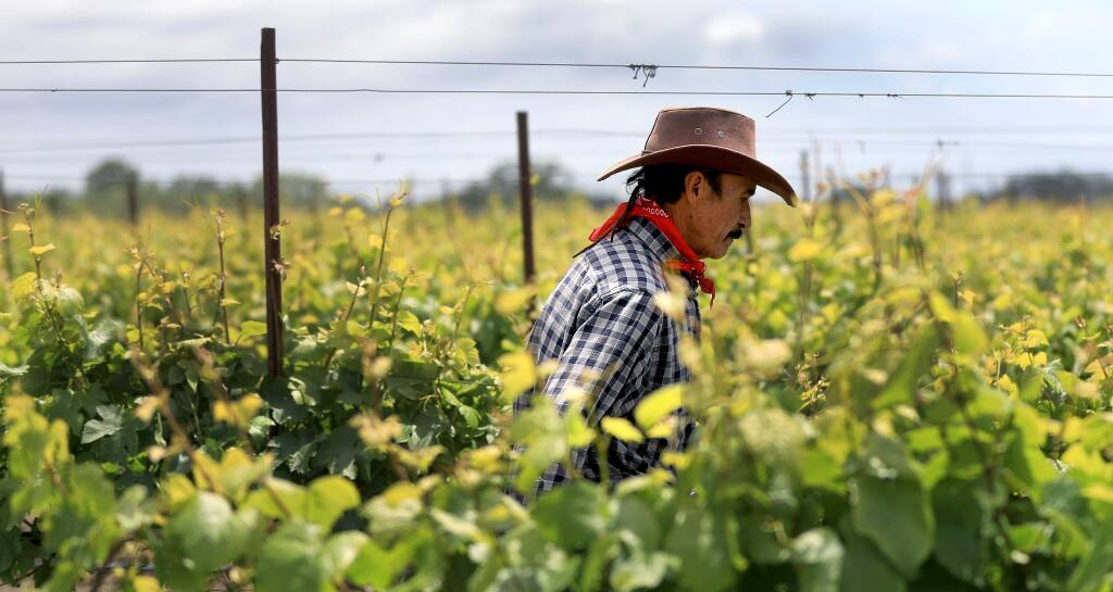 Field worker Celistino Martinez of D & L Carinalli Vineyards near Santa Rosa pulls up wire on wine grapes, Friday, May 17, 2019. With the recent heavy rains, growers are increasingly worried about damage to the flowers on the blooming wine grape. (Kent Porter / The Press Democrat) 2019