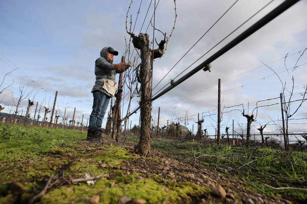 Margarita Rodriguez tapes down vines in a vineyard owned by Janet Sasaki in Sonoma, California on Wednesday, January 8, 2020. (BETH SCHLANKER/The Press Democrat)