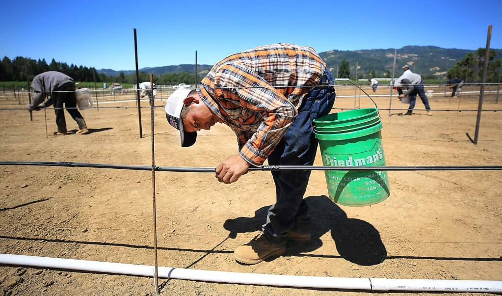 At Redwood Valley Vineyards in Redwood Valley, Maron Guillermo is one of seven H2A workers hired to help out with the grape harvest this year at the vineyard owned by Martha Barra. On Thursday June 29, 2017, workers were installing emitters on the infrastructure of new pinot noir block. (Kent Porter / Press Democrat) 2017