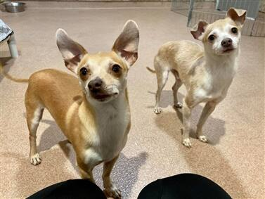 Whiskey and Barley go together well. They're available for adoption. (courtesy of Humane Society of Sonoma County)