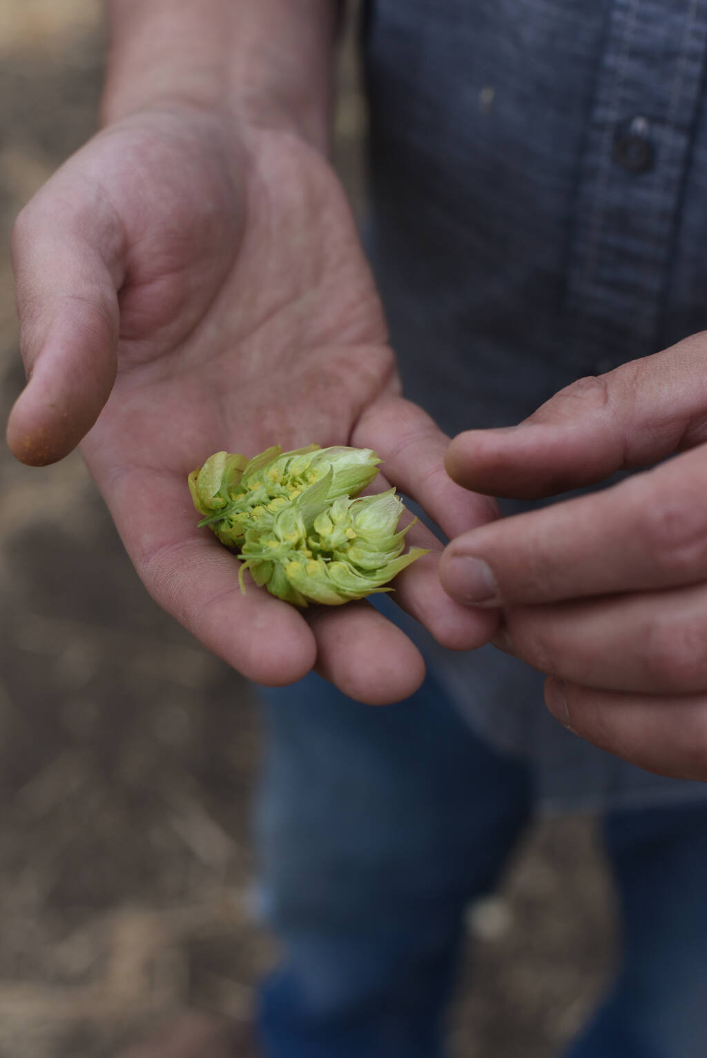 Brewmaster Andy Hooper of Seismic Brewing Co. cracks opens a fresh hop during a harvest in the hop yard at Crane Ranch in Santa Rosa on Sept. 2. (Erik Castro/For The Press Democrat)