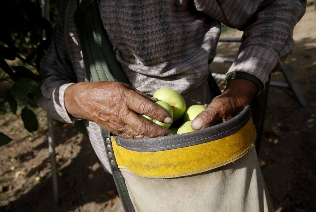 Miguel Hernandez, employee of Lee Walker Ranch, picks Gravenstein apples at an orchard in Sebastopol, on Thursday, July 23, 2015 .(BETH SCHLANKER/ The Press Democrat)