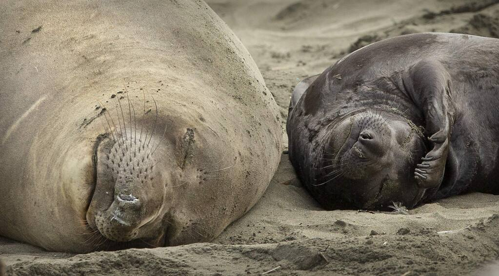 Without tourists and park rangers to discourage them during the government shutdown, northern elephant seals in Pt. Reyes National Seashore have expanded their pupping grounds south from Chimney Rock to Drakes beach where 50 females have given birth to 40 pups. (photo by John Burgess/The Press Democrat)